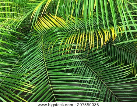 Royal Palms Frond Leaves Background. Tropical Leaves Pattern. Jungle Plants. Top View Of Tree