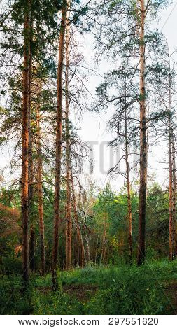 Forest landscape with trees growing at the mountain slopes under evening sunset light, forest natural landscape. Forest trees at the sunset