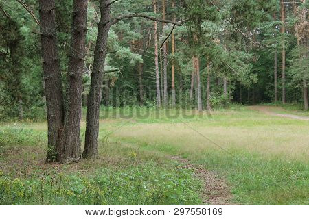 Beautiful green summer coniferous forest. Northern forest. Walk through the forest. Journey through the forest. Tourism in the North of the country. Forest reserve. Pine forest. Spruce forest. Mixed forest. Path in the forest