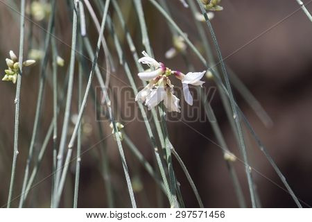 Spring Broom Ginestrae Beginning To Blossom On Branches Closeup Macro.