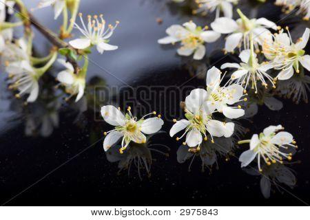 Apple Blossoms On Black Background