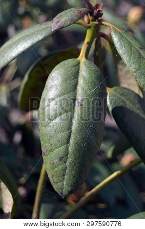 Leaves of rhododendron damaged by powdery mildew(Plasmopara vitikola) , fungal disease of rhododendrons