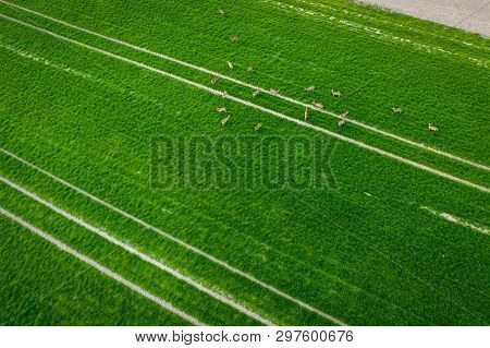 Tractor Fresh Trace On The Field And Herd Of Deer And Roes, Above View From Drone.