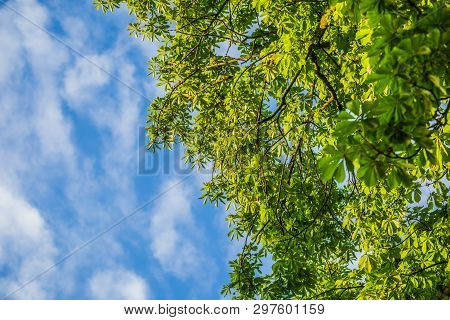 Green Foliage Of Chestnut With Sky Background.