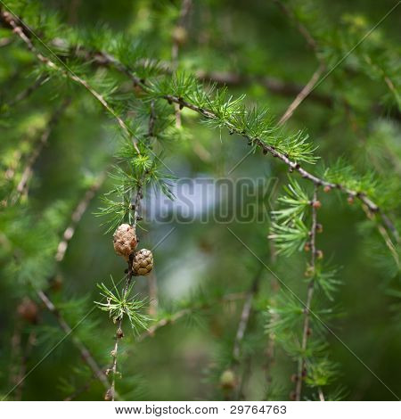 Relaxing larch greenery: closeup of European larch (Larix decidua) foliage with cones (selective focus) poster