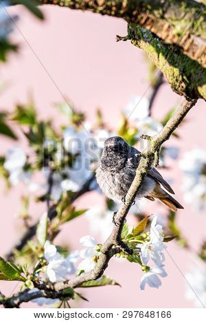 Male Blackstart Perched On Cherry Tree With Spring White Blooms