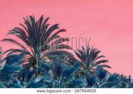 Surrealistic abstract Mallorca endemic fan palm Chamaerops humilis lush leaves against pink skies poster