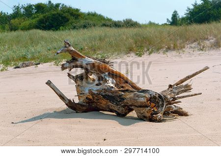 Picturesque Snag On The Sand, Dry Snag On The Sea Coast