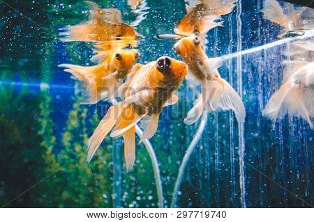 Goldfish In Aquarium.close-up. Goldfish With A White Tail. Wonderful And Incredible Underwater World