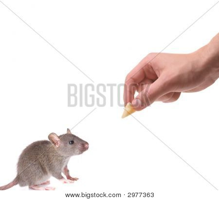 Mouse being lured with a piece of cheese isolated on white poster