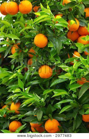 Oranges On The Tree.