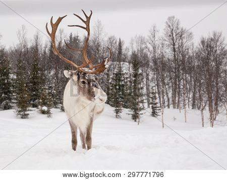 Close Up To Reindeers Head. Great Exposure Of Antlers. Reindeer Looks Right