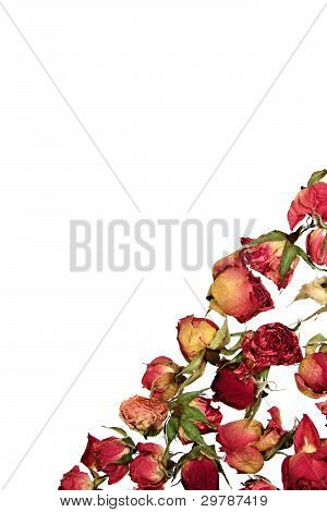 Dry Roses Invitation Postcard