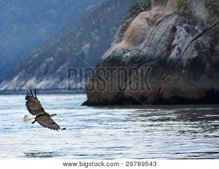 Bald Eagle Glides Over Glacier Bay Near Skagway - Alaska.