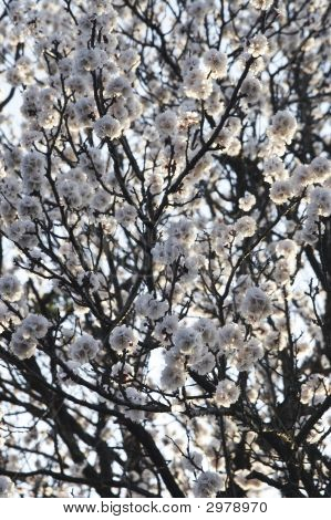 Plum-Tree Branch In Bloom