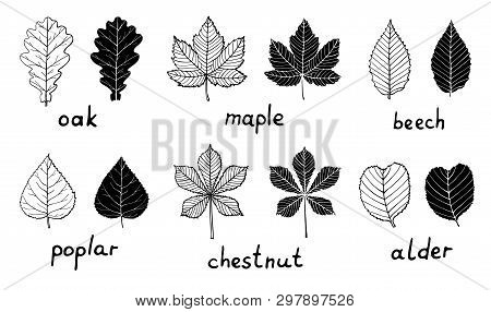 Set Of Black Silhouettes And Outline Leaves Isolated On White Background. Oak, Maple, Poplar, Beech,
