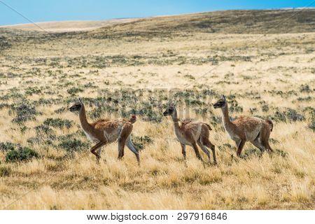 Three curious guanaco lamas (Lama guanicoe) in the endless grass pampas of Argentina