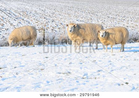 Sheep in snowy winter landscape in Holland