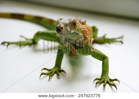 Green Iguana Reptiles. Perfect Portrait Of A Green Iguana Reptiles, Close Up. Close Up Portrait Of E