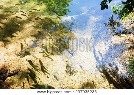 Krka, Sibenik, Croatia, Europe - Trouts Swimming Slowly Enjoying The Warm Sun