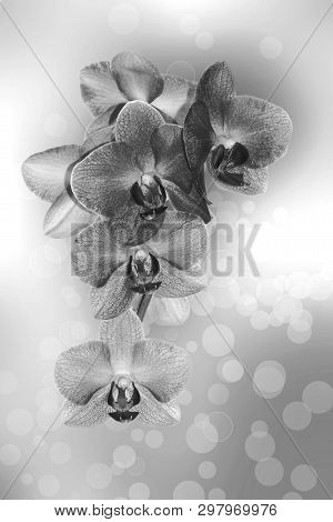 Beautiful Orchid Flowers, Background With Monochrome Orchids. Close, Decorate