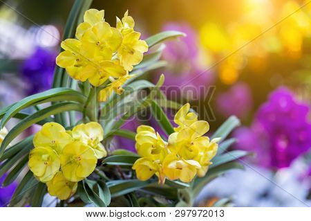 Orchid Flower In Orchid Garden At Winter Or Spring Day. Orchid Flower For Postcard Beauty And Agricu