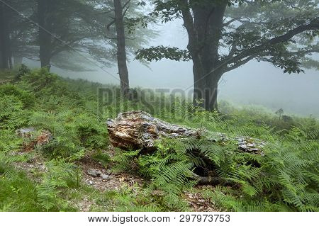 Old Decrepit Fallen Tree Trunk In The Foggy Forest. Flora Of The Pyrenees. La Rhune Mountain