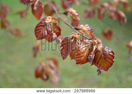 The blossoming beech European (Fagus sylvatica L.) poster