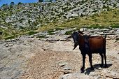 Wild tamed goat is looking and walking on the hill in Formentor, Mallorca, Spain poster