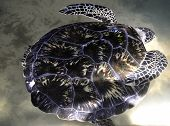 A Green Sea Turtle at a Turtle Hatchery in Sri Lanka poster