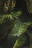 Mallorca endemic fan palm Chamaerops humilis lush leaves closeup in sunshine. poster