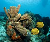 Tube sponges and yellow Masked Butterfly fish in the Caribbean Sea poster