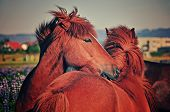 Pair of Icelandic horses grooming one another in the Icelandic countryside. poster