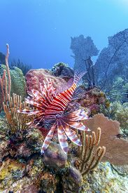 Coral Garden In Caribbean With Lionfish On Top Of Barrel Sponge