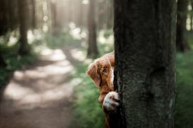 Nova Scotia Duck Tolling Retriever In The Forest. Pet For A Walk In Nature. Hike With A Dog
