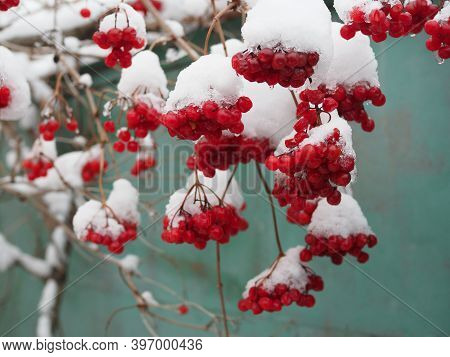 Red Viburnum In Winter. Red Clusters Of Viburnum Berries Under The Snow. Brush Viburnum In The Winte