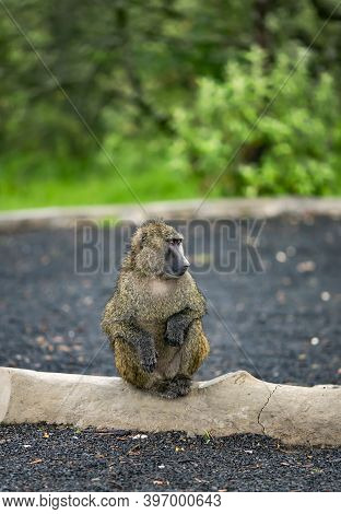 Male Olive Baboon (papio Anubis) Is Sits With Wet Wool After Rain In Maasai Mara National Park, Keny