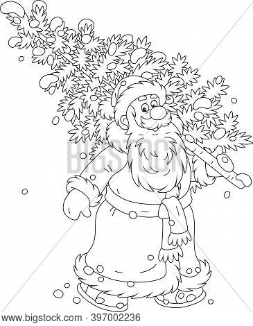 Santa Claus Carrying A Prickly Fir Tree From A Snowy Winter Forest To Decorate It For Christmas And