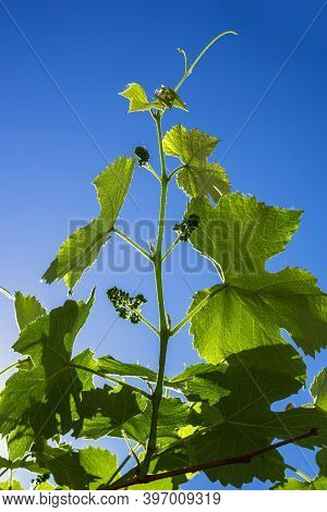 Grape Vine With Grapes Ovary Brightly Lit By The Sun Against The Blue Sky.