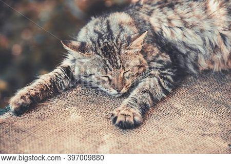 Siberian Cat Sleeps On Sackcloth In The Yard