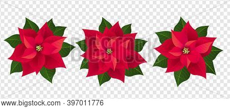 Red Poinsettia Set Isolated Transparent Background With Gradient Mesh, Vector Illustration..
