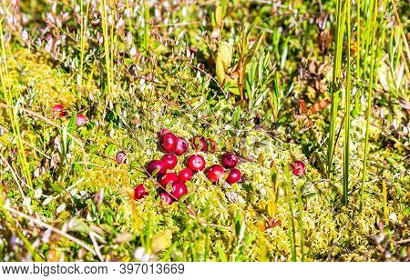 Wild Cranberries Growing In The Moss, Autumn Harvesting Of Wild Berries. Small Cranberry, Bog Cranbe