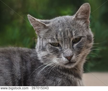 Homeless Gray Cat Outdoors In Summer. Cat Smoky Colour On Green Blurred Background. Animal Adoption