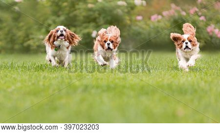 Three Young Cavalier King Charles Spaniel Dogs Are Running And Jumping Together On Green Grass At Na