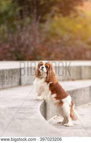 Pretty Cavalier King Charles Spaniel Dog Standing Outdoors  In Park With Autumn Leaves. Portrait Of