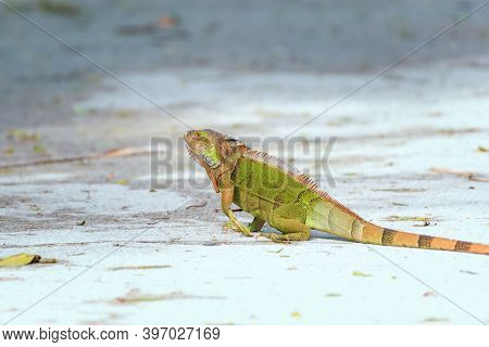 Green Iguana (iguana Iguana) Crossing A Road In J.n.