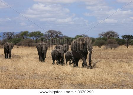 Elephant Familie Tarangire national park Tansania