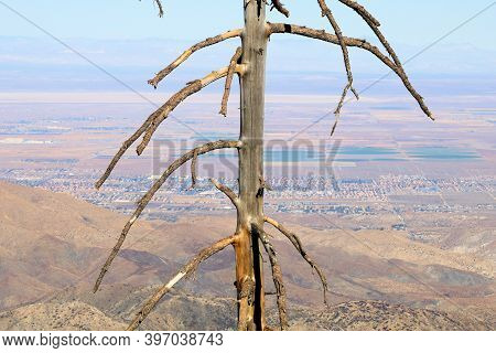 Burnt Pine Tree Caused From A Past Wildfire On An Arid Canyon Overlooking The Mojave Desert Taken In