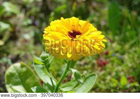 Terry Calendula (lat. Calendula Officinalis) In The Garden Close-up