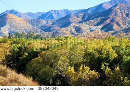 Cottonwood Trees Changing Colors During Autumn At A Riparian Woodland Besides The Santa Clara River